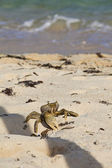 Crab walking on the beach towards the sea — Stock Photo