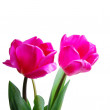 ������, ������: Two tulips