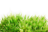 Sphagnum moss — Stock Photo