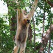 Pileated gibbon monkey hanging on a branch - Stock Photo
