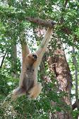 мексиканский гиббон обезьяна — Стоковое фото