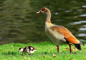 Duck and duckling — Stock Photo