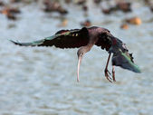 Glossy Ibis — Stock Photo
