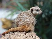 The beauty Meerkat (Suricata suricatta) — Stockfoto