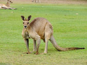 Male Kangaroo - boomer — Stock Photo