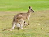 Kangaroo with baby — Stock Photo