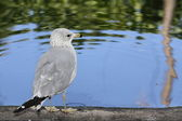 Seagull on a pond — Stock Photo