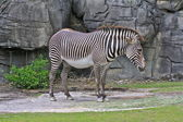 Zebra on the rocks — Stock Photo