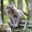 Monkey in jungles — Stock Photo #4793877