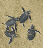 Turtles give birth — Stock Photo