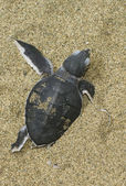Turtle give birth — Stock Photo