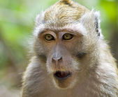 Close-up monkey in jungles. Indonesia — Stock Photo
