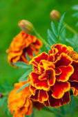 French marigold — Stock Photo