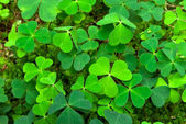 Wood-sorrel — Stock Photo