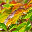Foliage of virginia creeper - Stock Photo