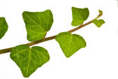 Common ivy — Stock Photo