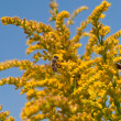 Stock Photo: Bees on goldenrod