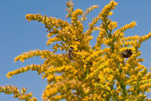Bees on goldenrod — Stock Photo