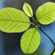 Stock Photo: GREEN SUMER LEAVES