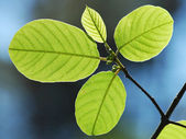 GREEN SUMER LEAVES — Stock Photo