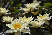 Pola żółte lilie wodne — Zdjęcie stockowe