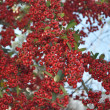 Stock Photo: Red Winter Holly Berries