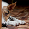 Dog melancholy — Stock Photo #4124230