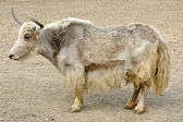 Tibetian yak — Stock Photo