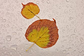 Leaves and water drops — Stock Photo
