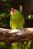 木の枝に緑のインコ鳥 — ストック写真