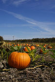 Pumpkin patch in Fall — Stock Photo