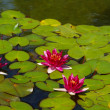 Red water lilies in full bloom with pads in pond — Stock Photo #4153370