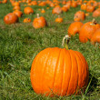 Orange pumpkins on green grass field in pumpkin patch — Stock Photo #4158736