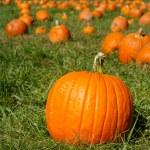 Orange pumpkins on green grass field in pumpkin patch — Stock Photo