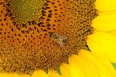 Honigbienen sammeln pollen gelb sonnenblumenöl — Stockfoto
