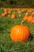 Orange pumpkins on green grass field in pumpkin patch — Stock Photo