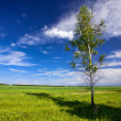 Young birch tree in a field — Stock Photo