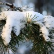 Frost and snow on Pine — Stock Photo