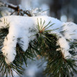 Stock Photo: Frost and snow on Pine