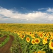 Постер, плакат: Sunflowers with blue sky