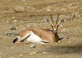 Arabian/Dorka's Gazelle — Stock Photo