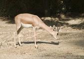 Dorca's Gazelle — Stock Photo