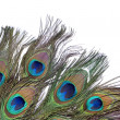 Peacock feather — Stock Photo #5076097