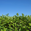 Stock Photo: HEDGEROW OF SHRUBS