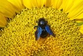 Big fly with blue wing on sunflower — Stock Photo