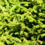 Fir tree — Stock Photo #5350621