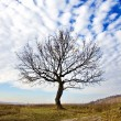 Dry tree — Stock Photo #5354544