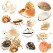 Collection of cockleshell isolated on white. — Stock Photo