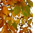 Autumn nut leaves — Stock Photo