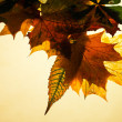Isolated autumn maple leaves — Stock Photo